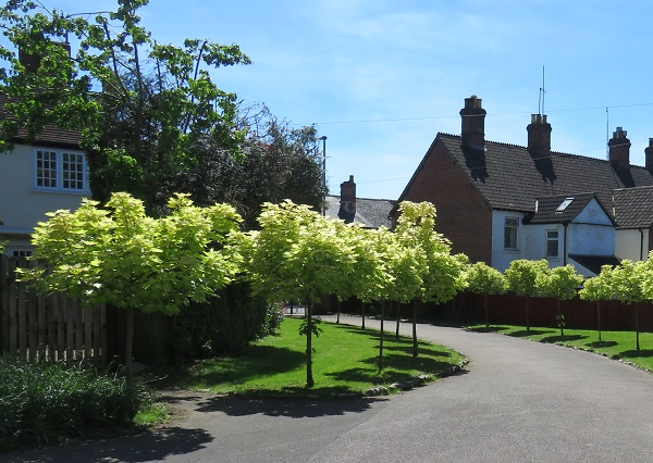 grey path with blossomed trees lining either side on green grass. Houses in the background and a clear blue sky