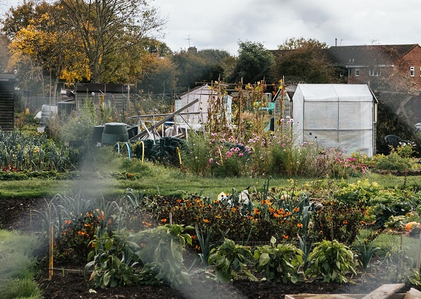 An allotment with vegetable patches and patches of greenery